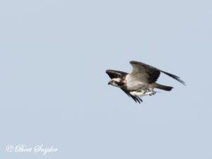 Osprey Birding Portugal