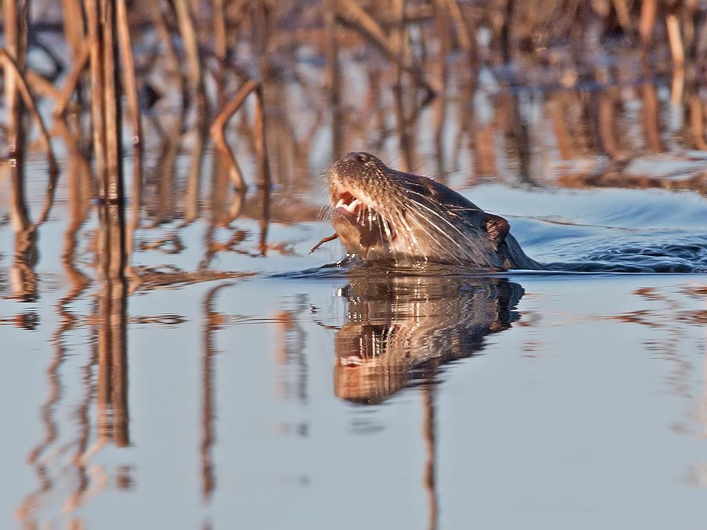Otter Hide BSP3 Portugal
