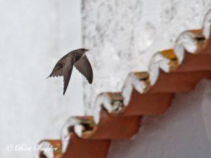 Pallid Swift Birding Portugal