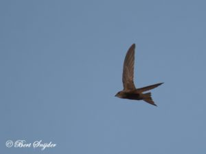 Pallid Swift Birding Portugal