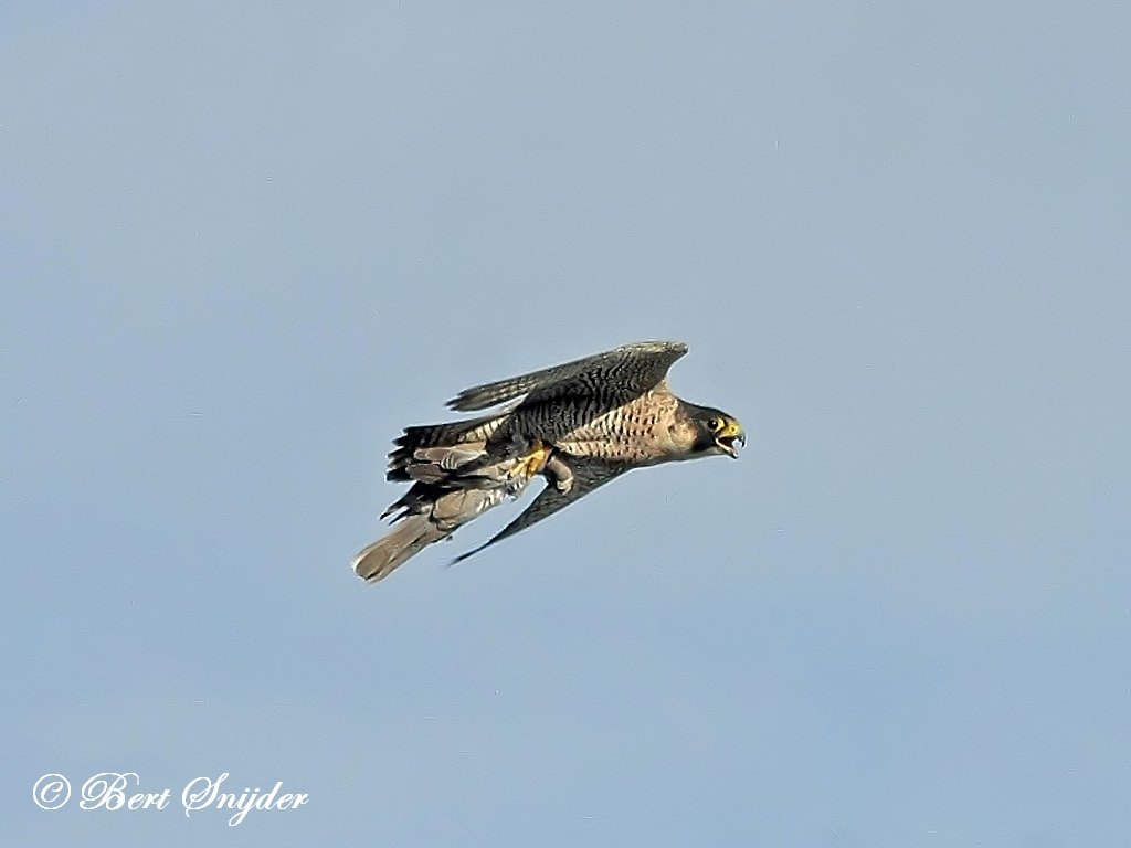 Peregrine Falcon Birding Portugal