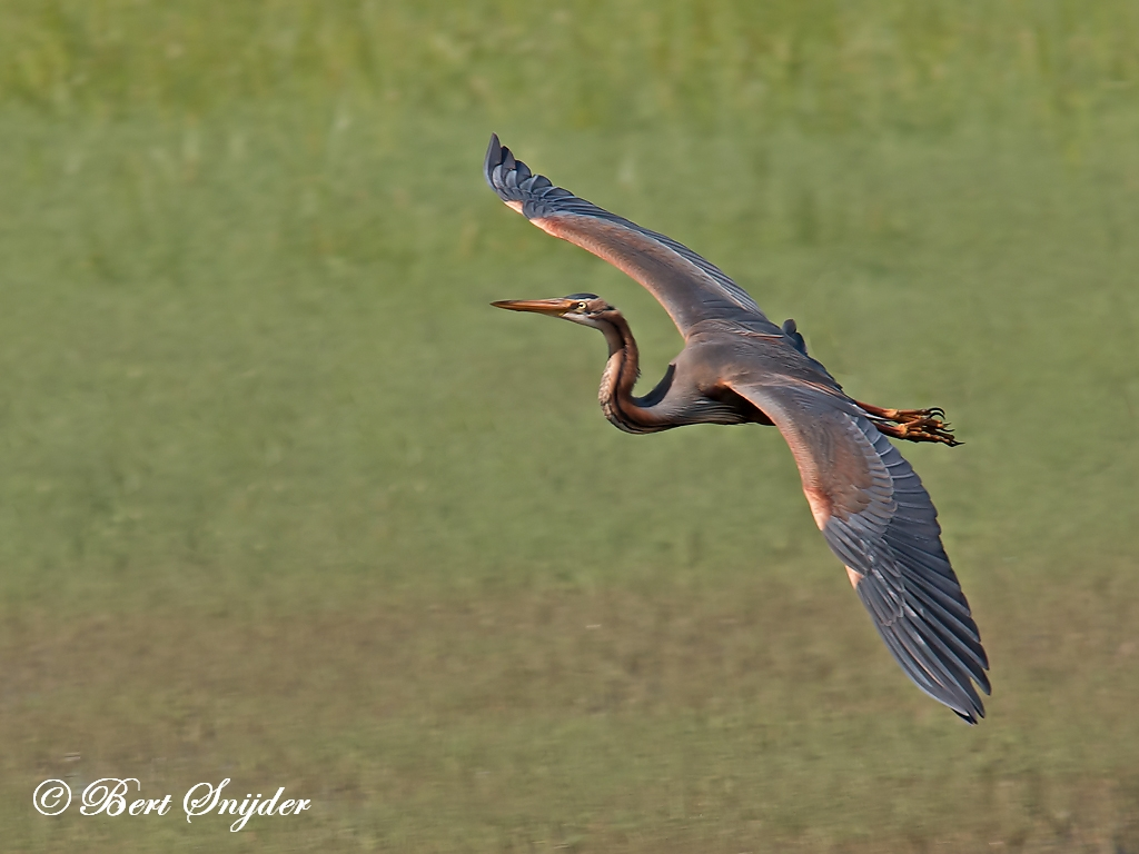 Purple Heron Birding Portugal