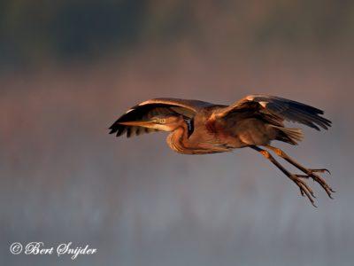 Purple Heron Birding Portugal