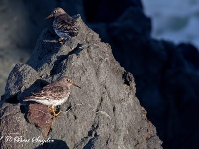 Purple Sandpiper Birding Portugal