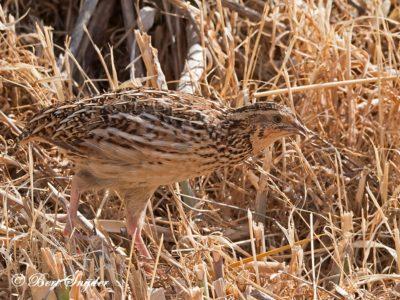 Quail Birding Portugal