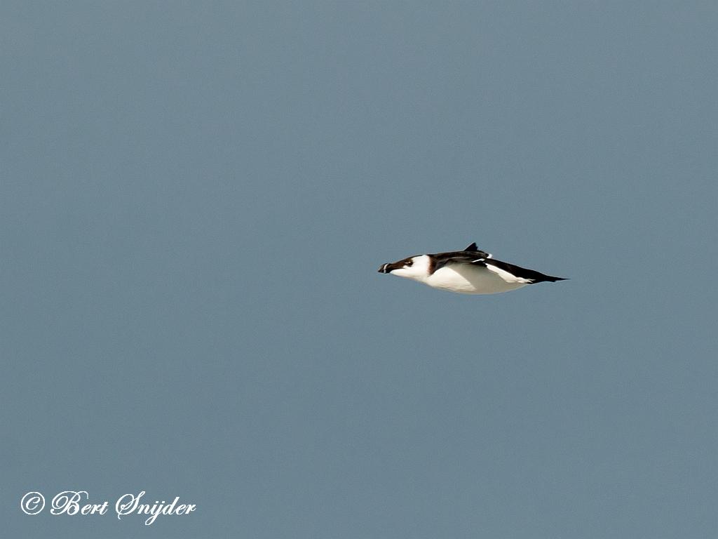 Razorbill Birding Portugal