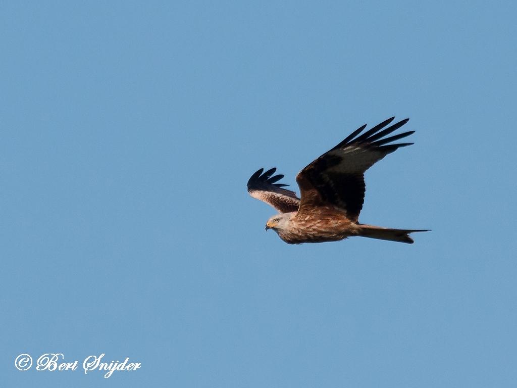 Red Kite Bird Hide BSP5 Portugal