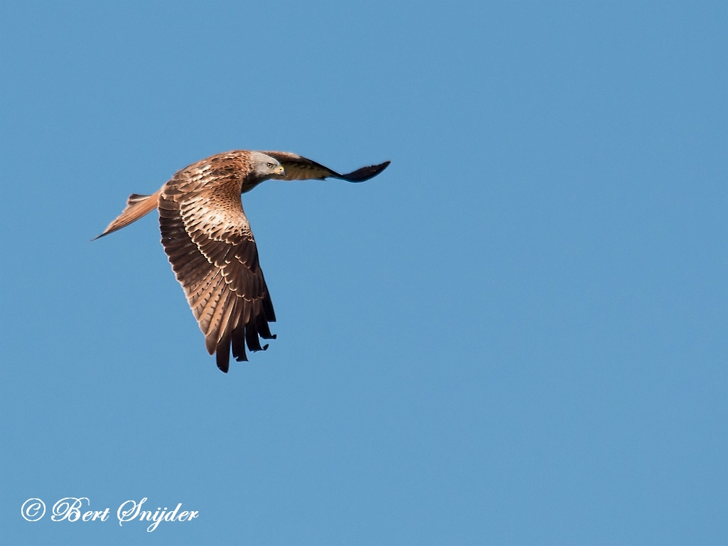 Red Kite Birding Portugal