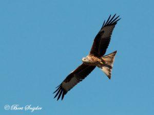 Red Kite Birding Portugal