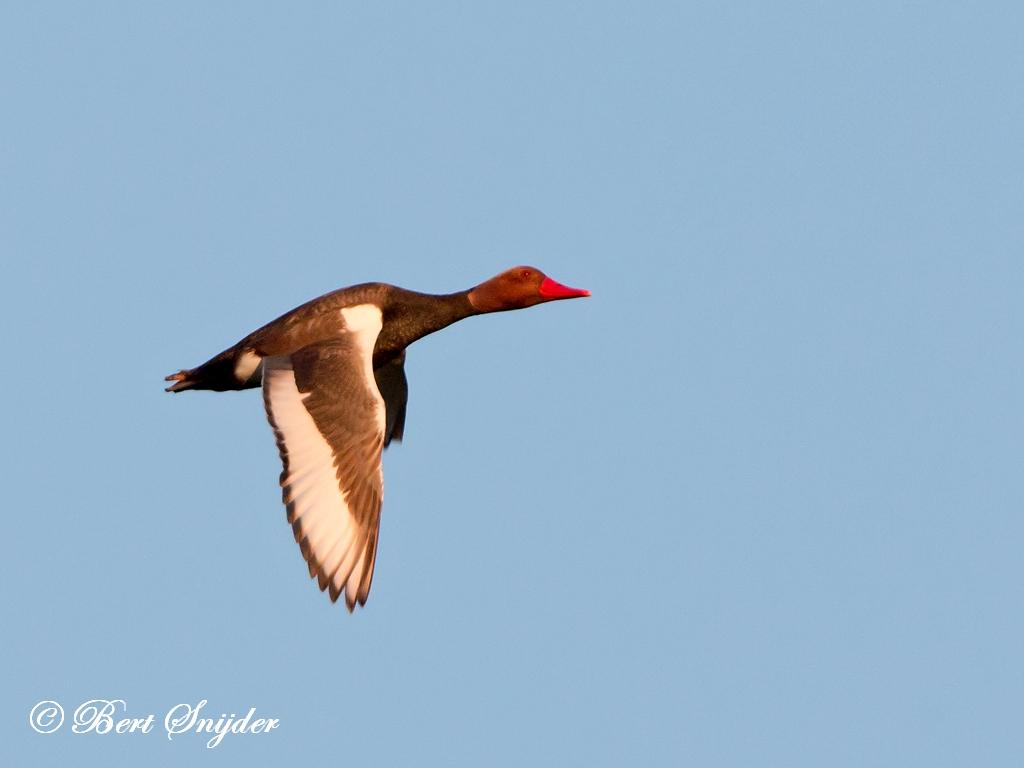 Red-crested Pochard Birding Portugal