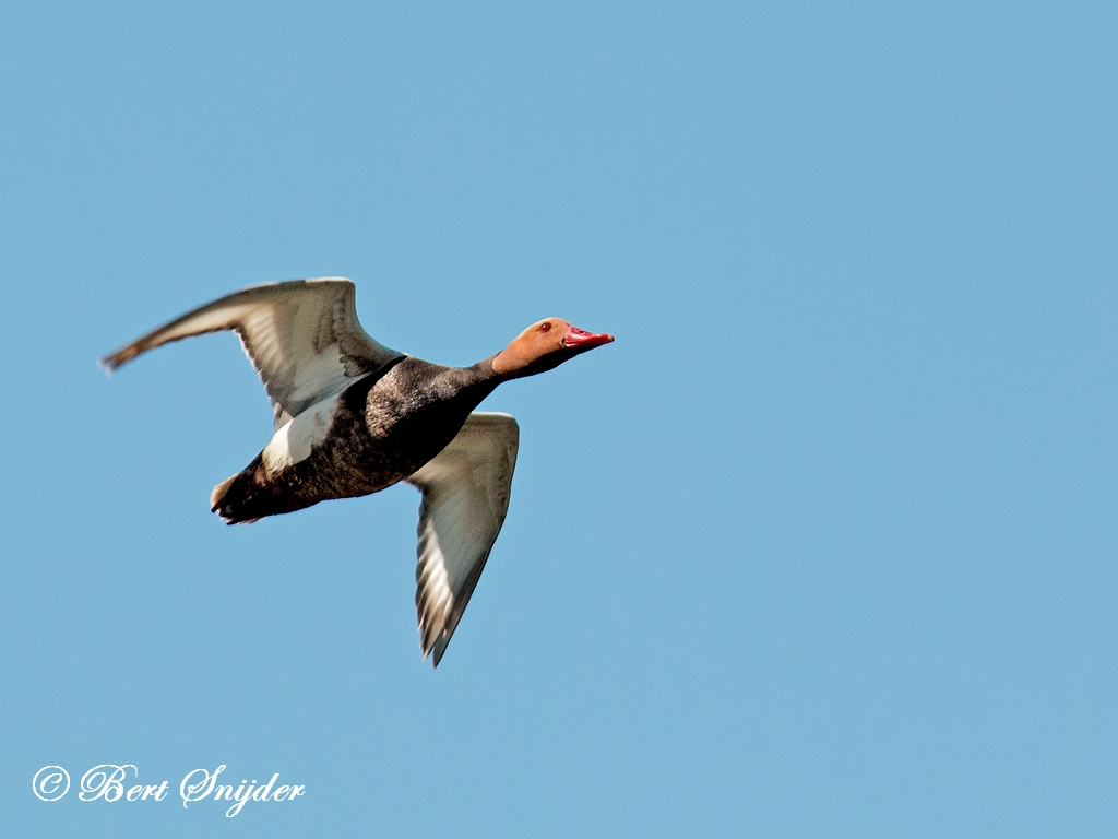 Red-crested Pochard Birding Portugal