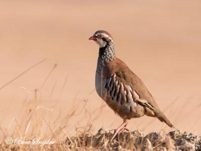 Red-legged Partridge Birding Portugal