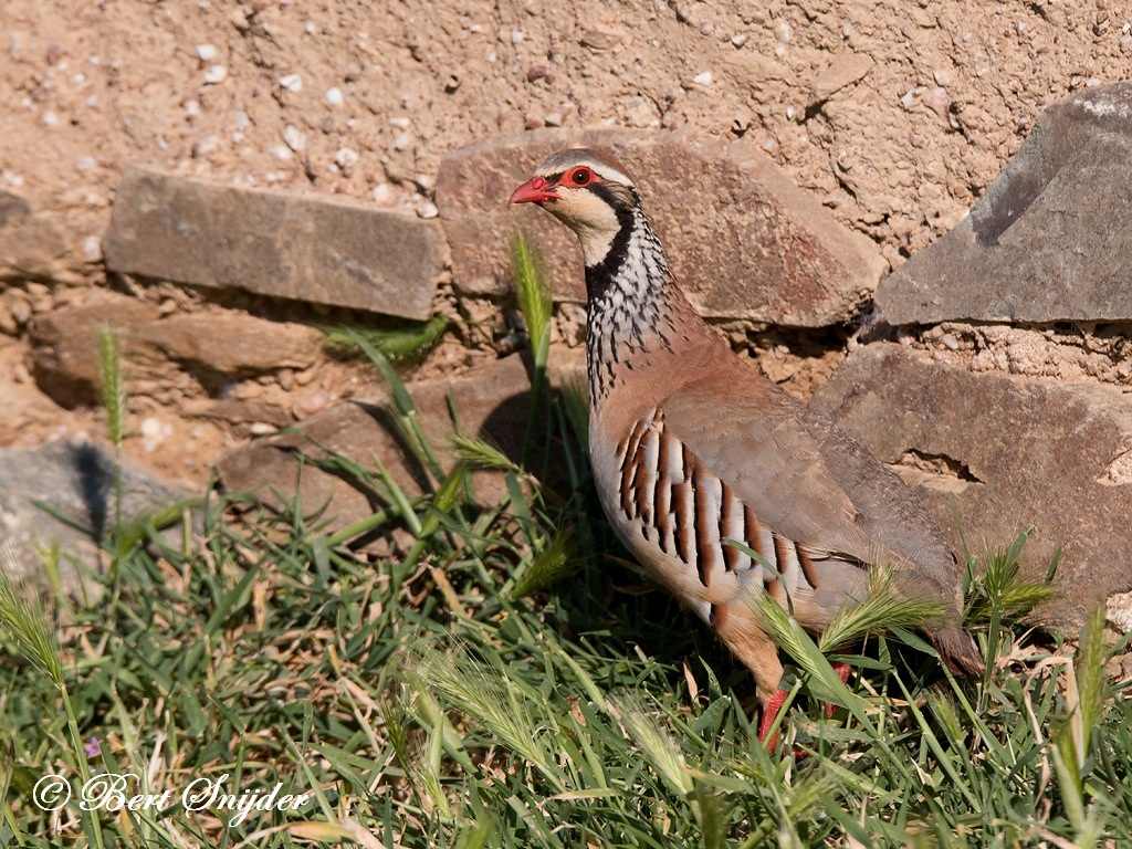Red-legged Partridge Bird Hide BSP6 Portugal