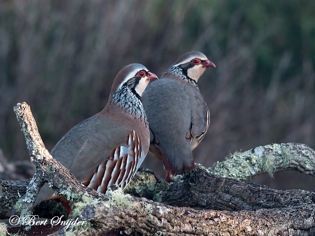 Red-legged Partridge Birding Portugal