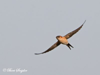 Red-rumped Swallow Birding Portugal