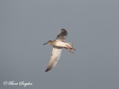 Redshank Birding Portugal