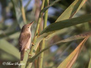 Reed Warbler Birding Portugal