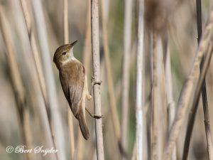 Reed Warbler Birding Portug