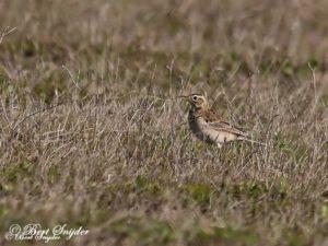 Richard´s Pipit Birding Portugal