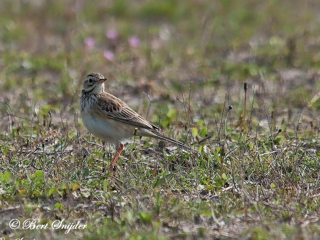 Richard´s Pipit Birding Portugal