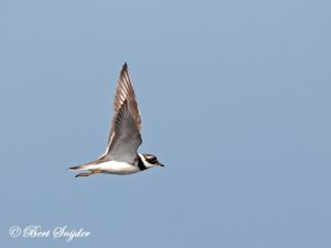 Ringed Plover Birding Portugal