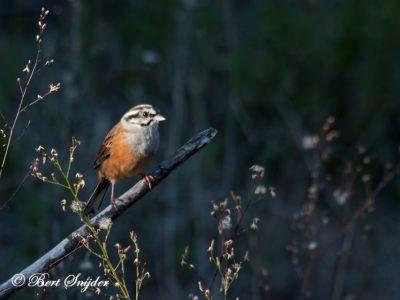 Rock Bunting Birding Portugal