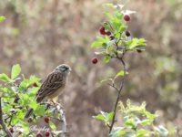 Rock Bunting Bird Hide Portugal