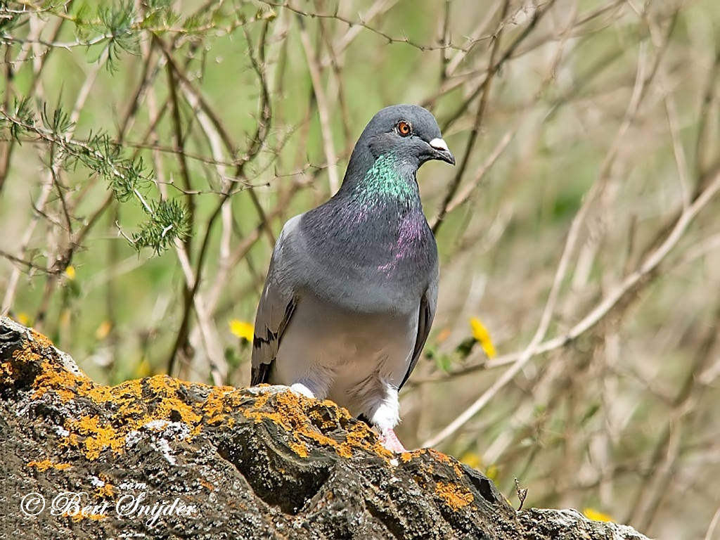 Rock Dove Birding Portugal