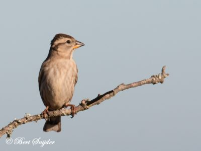 Rock Sparrow Birding Portugal