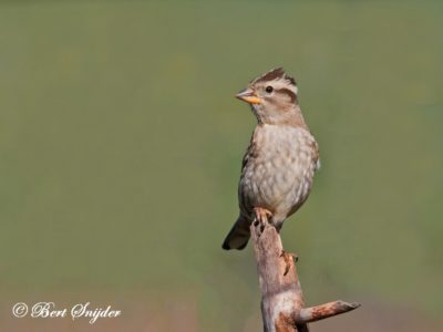 Rock Sparrow Birding Portugal