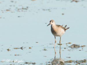 Ruff Birding Portugal