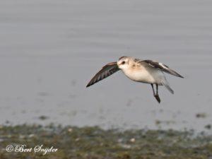 Sanderling Birding Portugal