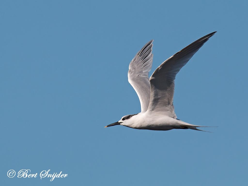 Sandwich Tern Birding Portugal