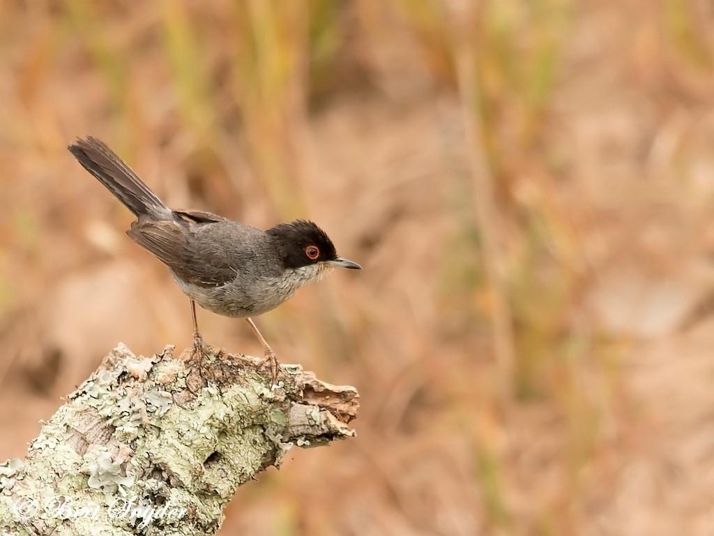 Sardinian Warbler Bird Hide BSP1 Portugal
