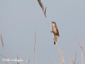 Savi´s Warbler Birding Portugal