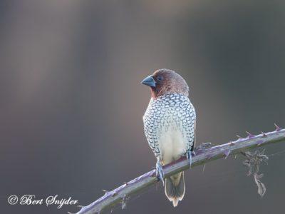 Scaly-breasted Munia Birding Portugal