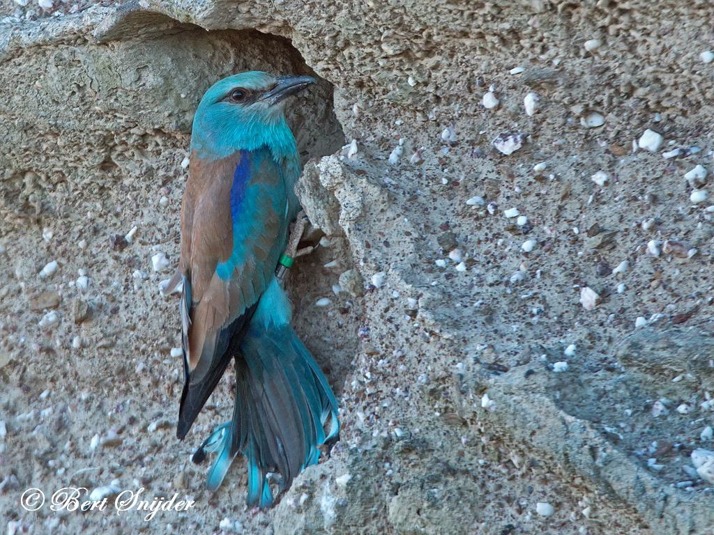 European Roller Birding Portugal