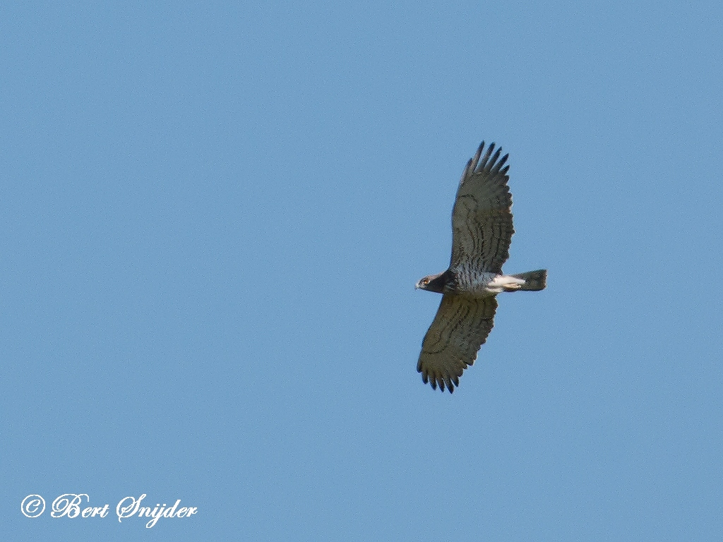 Short-toed Eagle Bird Hide BSP5 Portugal