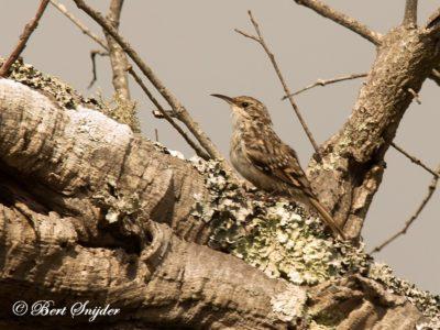 Short-toed Treecreeper Birding Portugal