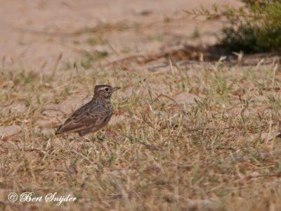 Skylark Birding Portugal