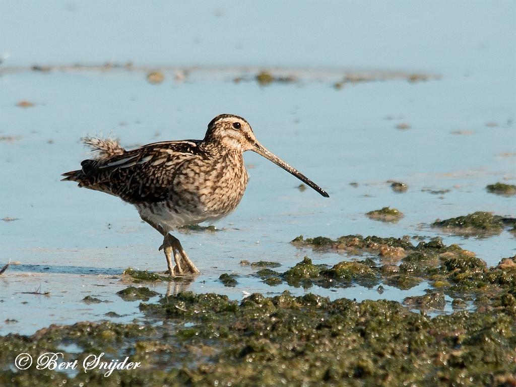 Snipe Birding Portugal