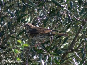 Song Thrush Birding Portugal