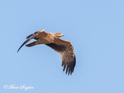 Spanish Imperial Eagle Birding Portugal