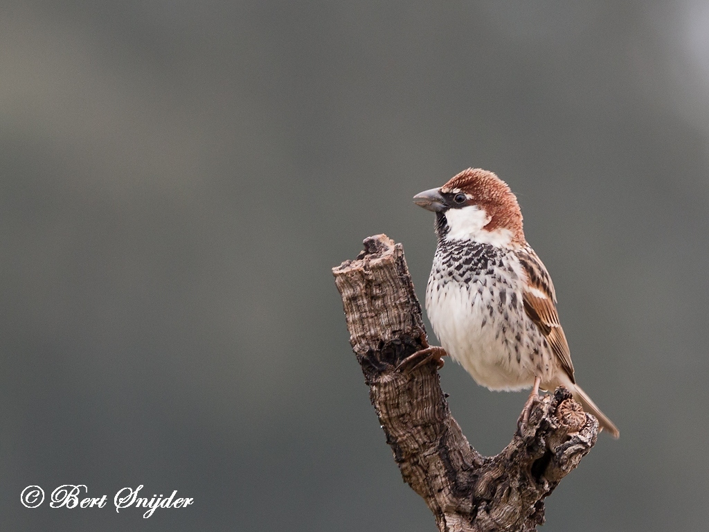 Spanish Sparrow Bird Hide BSP5 Portugal