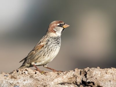 Spanish Sparrow Birding Portugal