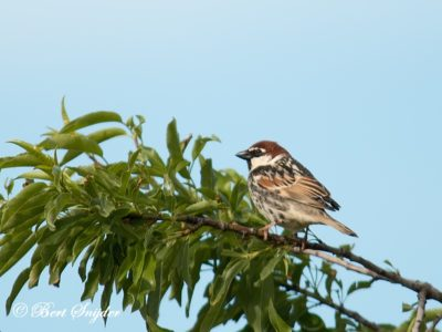 Spanish Sparrow Birding Portugal