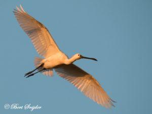 Spoonbill Birding Portugal