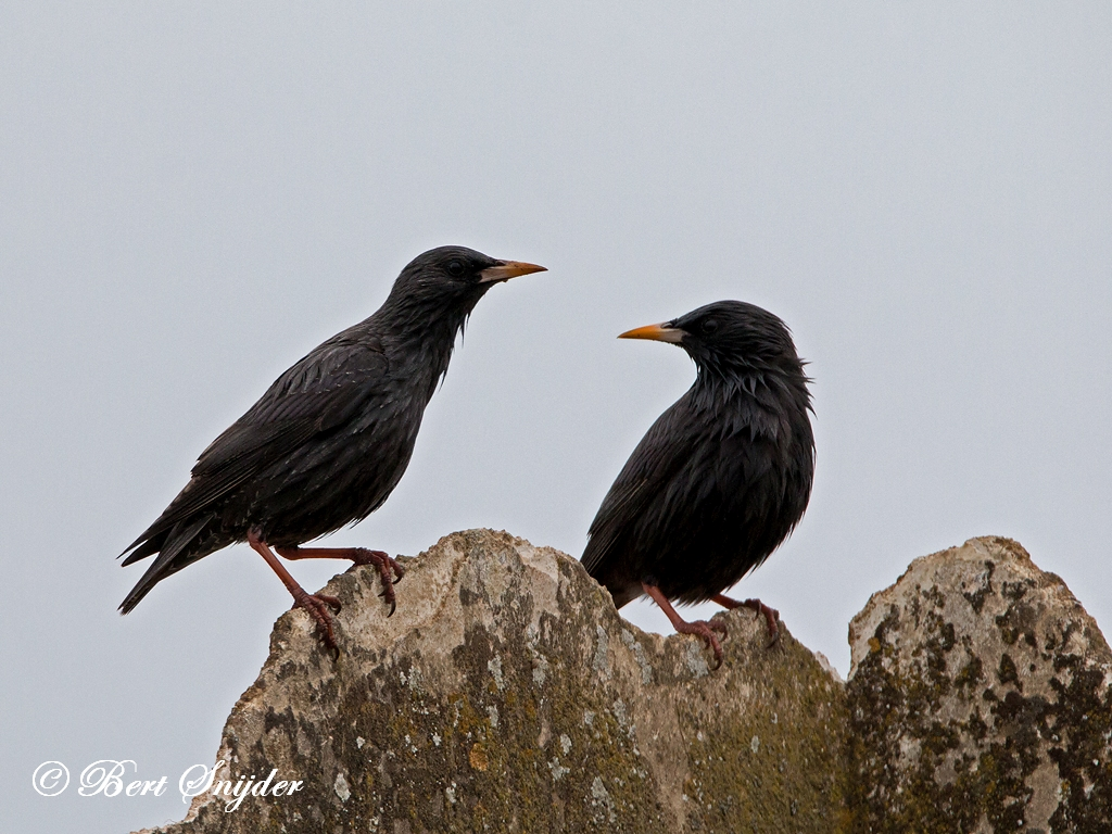 Spotless Starling Birding Portugal