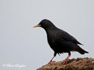 Spotless Starling Birding Portugal