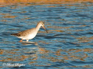 Spotted Redshank Birding Portugal
